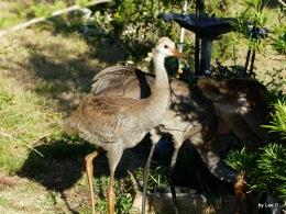 Sandhill Cranes andRabbits