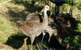 Sandhill Cranes and Rabbits
