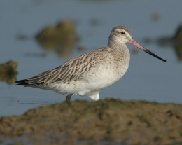 God's Recipe for the Bar-tailed Godwit