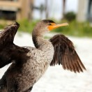 Double-crested Cormorant by Angie at beach 2