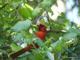 Cardinal Parents at Brevard Zoo