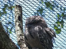 Tawny Frogmouth at Brevard Zoo 4-3-18 by Lee