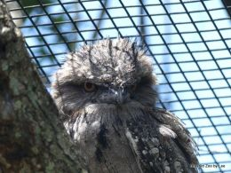 Where Am I Found? – Tawny Frogmouth