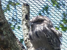 Tawny Frogmouths at the Zoo