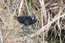 Young Moorhen at Viera Wetlands