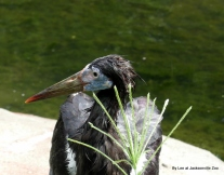 Abdim's Stork (Ciconia abdimii) Jax Zoo