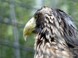 Comparison of the Bald, Golden, and Steller'sSea-eagle