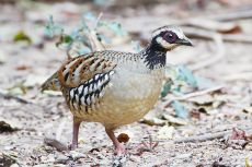 Bar-backed Partridge (Arborophila brunneopectus) ©WikiC Female