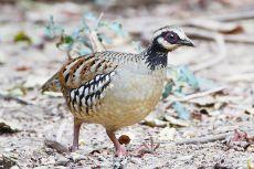 Bar-backed Partridge (Arborophila brunneopectus) ©WikiC Female