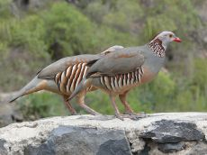 Barbary Partridge (Alectoris barbara) ©WikiC