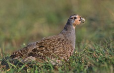 Grey Partridge (Perdix perdix) ©WikiC