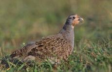 Grey Partridge (Perdix perdix) ©WikiC