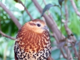 Mountain Bamboo Partridge (Bambusicola fytchii) by Lee Zoo Miami