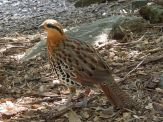 Mountain Bamboo Partridge (Bambusicola fytchii) ©WikiC at National Zoo