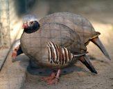 Philby's Partridge (Alectoris philbyi) ©WikiC