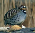 White-necklaced Partridge (Arborophila gingica) ©WikiC