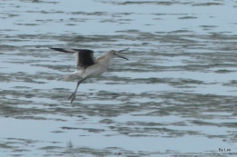 Cold Day For Birdwatching –Willets