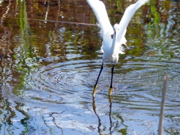 Snowy Egret Showing Off Yellow Feet
