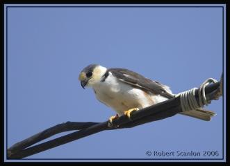 Pearl Kite (Gampsonyx swainsonii) by Robert Scanlon