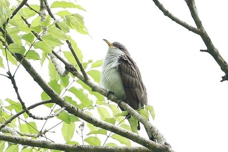 Pearly-breasted Cuckoo (Coccyzus euleri) ©WikiC