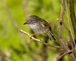 Pearly-vented Tody-Tyrant (Hemitriccus margaritaceiventer) ©WikiC