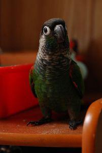 Pearly Parakeet (Pyrrhura lepida) ©WikiC