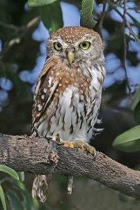 Pearl-spotted Owlet (Glaucidium perlatum) ©WikiC