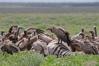 White-backed Vultures (Gyps_africanus) on zebra carcass ©WikiC