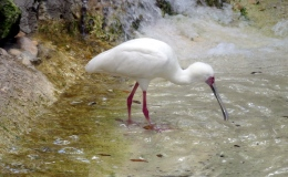 African Spoonbill Feeding at Zoo Tampa