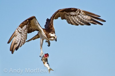 Western Osprey (Pandion haliaetus) dropping this fish ©Flickr Andy Morffew
