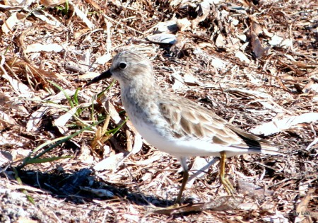 Least Sandpiper at Fort DeSoto by Lee