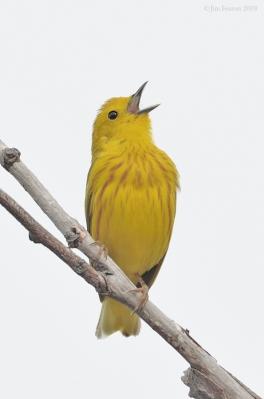 ellow Warbler singing by J Fenton