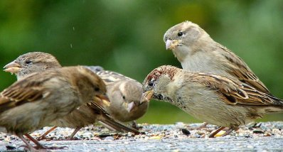 House Sparrow (Passer domesticus) Five ©Indiatoday