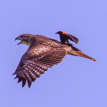 Blackbird on a Hawk's Back ©Dept of Interior