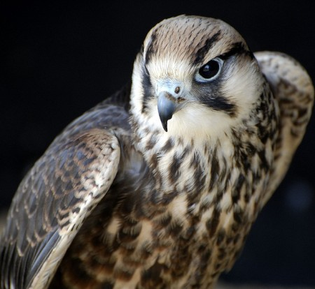 Saker Falcon (Falco cherrug) ©©