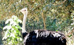 Stupid Ostriches? – Creation Moments