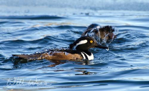 Hooded Merganser Diving Duck, Georgia
