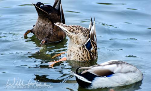 Dabbling Duck Mallard