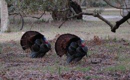 Emma's Stories – The Spring Party of Reginald's Turkeys