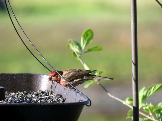 House Finch on Feeder by Lee