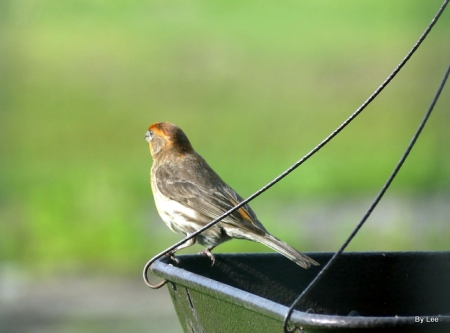 Varient House Finch on Feeder by Lee