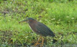 Birdwatching At Home – GreenHeron