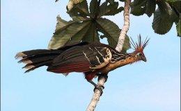 Hoatzin Bird from Answers inGenesis