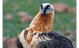 England's Oldest National Park Visited by Bearded Vulture
